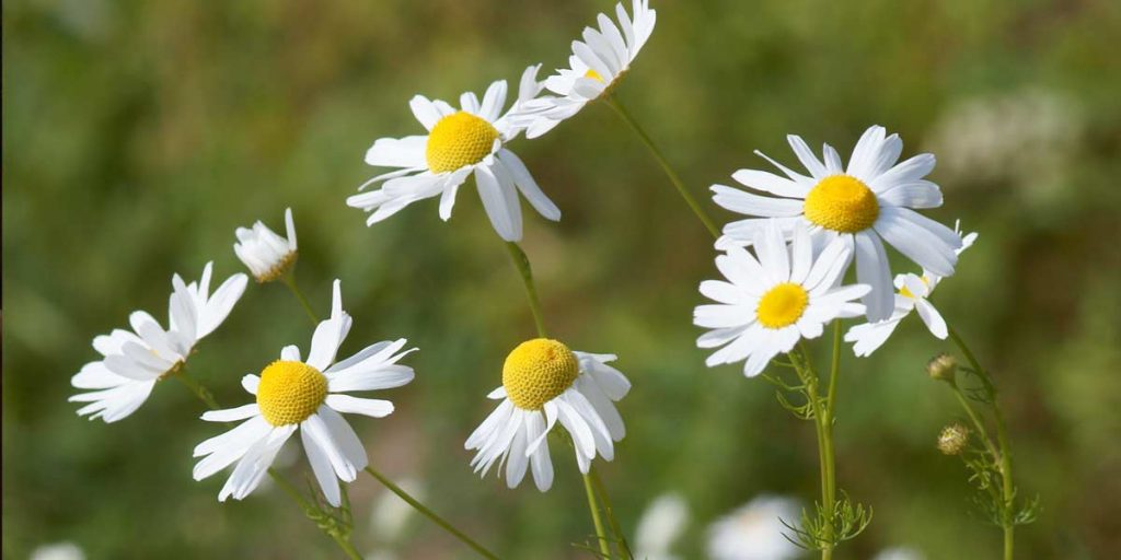 chamomile-essential-oil-great-for-anxiety