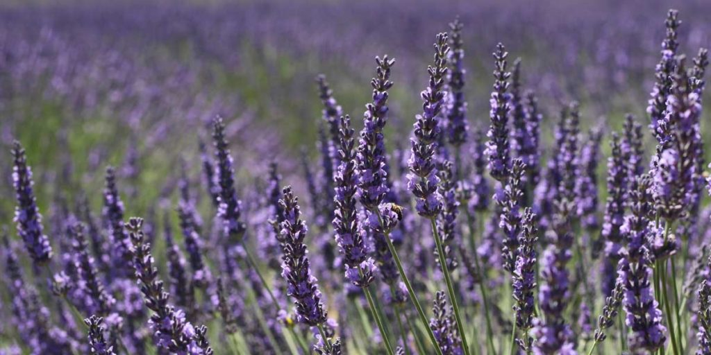 lavender-essential-oil-anxiety