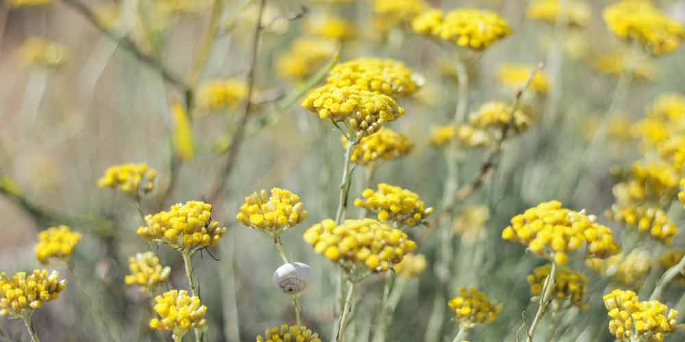 helichrysum-essential-oil-for-skin