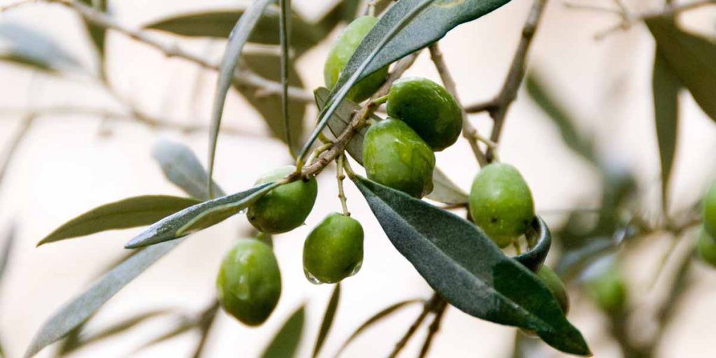 olive-squalane-facial-oil