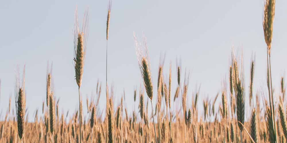 wheat-for-anti-aging